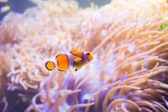 Pesce del fumetto vicino all'anemone di mare Immagini Stock Libere da Diritti