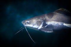 Pesce del gatto Immagini Stock Libere da Diritti