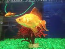 Pesce del girante laterale Fotografia Stock Libera da Diritti