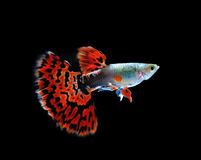 Pesce del Guppy isolato sul nero immagine stock libera da diritti