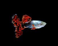 Pesce del Guppy isolato sul nero immagini stock libere da diritti