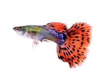 Pesce del Guppy su fondo bianco fotografia stock