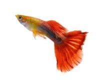 Pesce del Guppy su fondo bianco fotografia stock libera da diritti