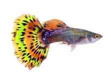 Pesce del Guppy su fondo bianco immagine stock libera da diritti