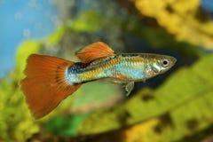 Pesce del Guppy in un acquario fotografia stock libera da diritti