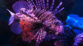 Pesce del leone in acquario o oceanarium con fondo scuro archivi video