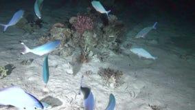 Pesce del leone e caccia lunare delle fuciliere nel Mar Rosso di notte archivi video