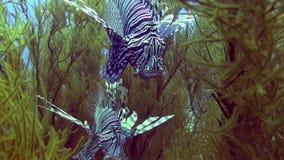 Pesce del leone in giardino di corallo in Mar Rosso archivi video