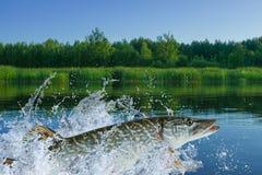 Pesce del luccio che salta con la spruzzatura nello stagno fotografia stock