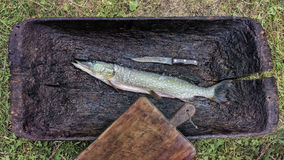 Pesce del luccio spazzolato grezzo di esox lucius pronto per la frittura, su un cutti Immagine Stock Libera da Diritti