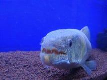 Pesce del mostro fotografia stock