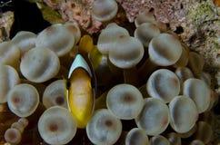 Pesce del pagliaccio Immagine Stock