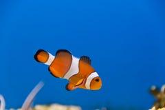 Pesce del pagliaccio Immagini Stock Libere da Diritti