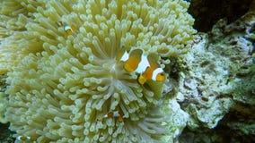 Pesce del pagliaccio in anemone, stock footage