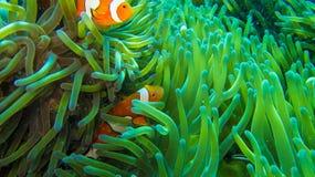 Pesce del pagliaccio in anemone, variopinto in verde ed in arancio immagine stock