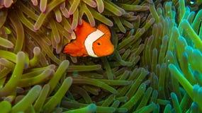 Pesce del pagliaccio in anemone, variopinto in verde ed in arancio fotografia stock