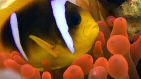 Pesce del pagliaccio nel Mar Rosso subacqueo di Anemone Actinidae della bolla arancio luminosa di colore stock footage
