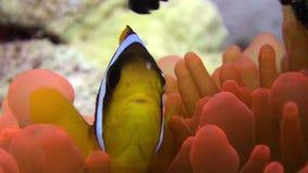 Pesce del pagliaccio nel Mar Rosso subacqueo di Anemone Actinidae della bolla arancio luminosa di colore video d archivio