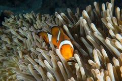 Pesce del pagliaccio nell'erba del mare, Similan, Tailandia Immagini Stock Libere da Diritti