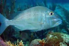 Pesce del pagro da vendere fotografia stock immagine 46122347 - Pesci comuni in tavola ...