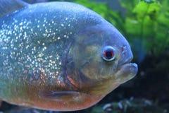 Pesce del piranha Immagini Stock