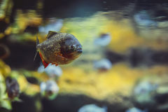 Pesce del piranha nell'acqua Fotografia Stock