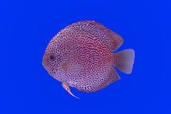 Pesce del Pompadour Fotografie Stock