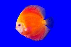 Pesce del Pompadour Immagini Stock Libere da Diritti