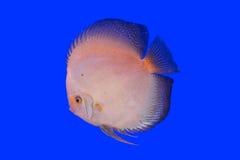 Pesce del Pompadour Fotografia Stock Libera da Diritti