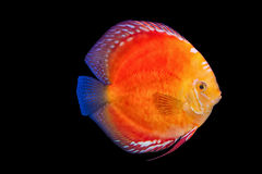 Pesce del Pompadour nel fondo nero Fotografia Stock Libera da Diritti