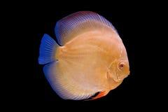 Pesce del Pompadour nel fondo nero Fotografie Stock Libere da Diritti