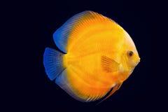Pesce del Pompadour nel fondo nero Fotografie Stock