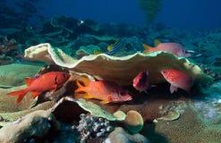 Pesce del priacanto Fotografia Stock Libera da Diritti