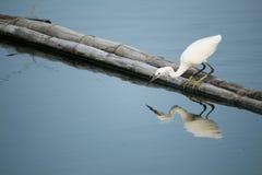 Pesce del ritrovamento dell'uccello dell'egretta nell'acqua Fotografia Stock