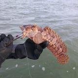 Pesce del rospo dell'ostrica Immagine Stock