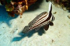 Pesce del tamburo Fotografie Stock Libere da Diritti