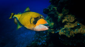 Pesce del titano Fotografie Stock