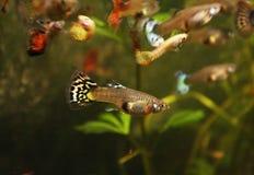 Pesce dell'acquario del Guppy immagine stock