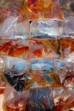 Pesce dell'acquario visualizzato nei sacchetti di plastica da vendere Fotografia Stock