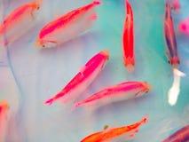 Pesce dell'animale domestico Fotografia Stock