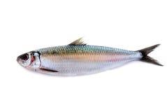 Pesce dell'aringa isolato su fondo bianco Fotografie Stock