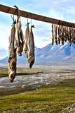 Pesce dell'essiccazione dell'aria aperta in Spitsbergen, le Svalbard Fotografia Stock Libera da Diritti