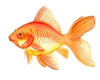 Pesce dell'oro dell'acquerello Immagini Stock Libere da Diritti