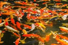 Pesce della carpa Fotografia Stock