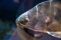 Pesce della carpa in acqua del ubder del bacino idrico o dell'acquario Immagini Stock