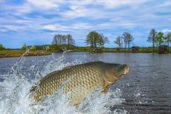 Pesce della carpa che salta con la spruzzatura in acqua fotografie stock libere da diritti