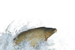 Pesce della carpa che salta con la spruzzatura in acqua fotografia stock