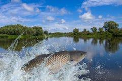 Pesce della carpa dell'erba o dell'Amur che salta con la spruzzatura in acqua fotografie stock