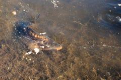 Pesce della carpa in un lago Fotografia Stock