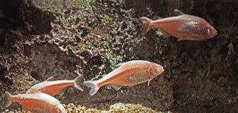 Pesce della caverna dei ciechi o tetra messicano sul fondo della natura immagine stock libera da diritti